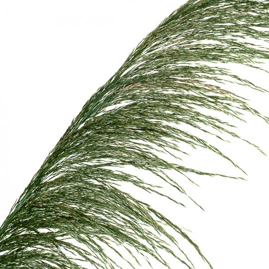 Сухоцвет Камыш, Зеленый (8430-047)