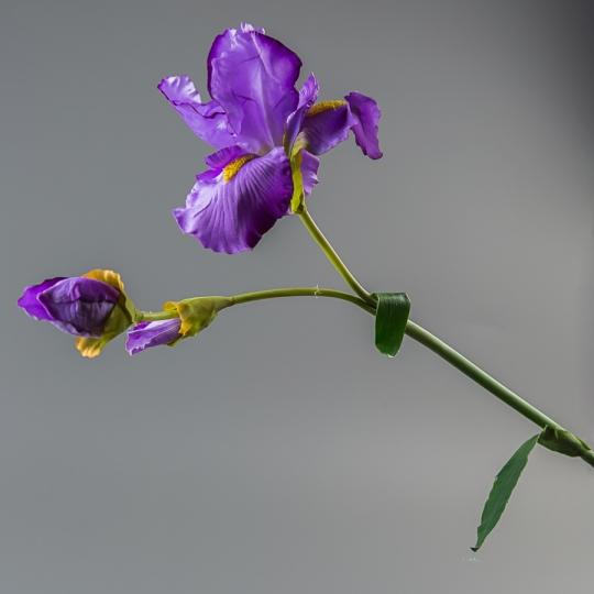 Ирис (104 см) (135F/violet)