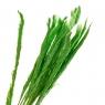 Пампасная трава Зеленая, стабилизированная (8213-038)