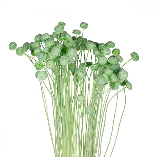 "Сухоцветы ""Ботао""Зеленые"" (8430-002)"